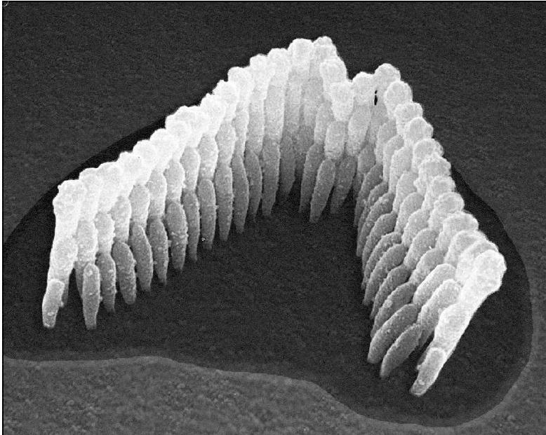 Microscopic image of healthy stereocilia, also called hair cells.