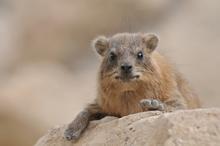 A hyrax