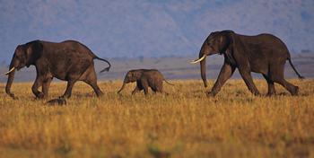 Elephants roaming.