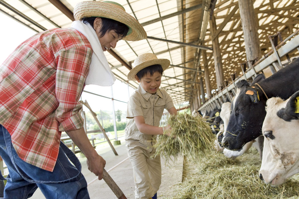 An adult male and young boy working in a barn and feeding hay to cows.