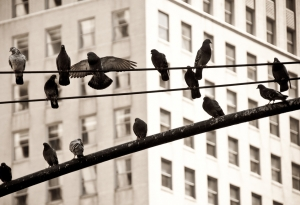 Birds on telephone lines in a city.