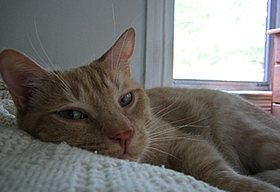 """Herbie"" the orange tabby cat"